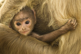 Northern Plains Grey Langur (Semnopithecus Entellus) Baby Holding onto Mother Photographic Print by Mary Mcdonald