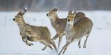 Sika Deer (Cervus Nippon) Three Females Running and Playing in Snow. Hokkaido, Japan, March Fotodruck von Wim van den Heever