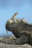 Marine Iguana (Amblyrhynchus Cristatus) on Rock with Lava Lizard Sitting on its Head Photographic Print by Ben Hall