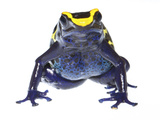 Dyeing Poison Frog (Dendrobates Tinctorius) Captive Photographic Print by Jp Lawrence