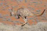 Hill Wallaroo (Macropus Robustus) Jumping, Flinders Ranges National Park, South Australia, Australi Photographic Print by Jouan Rius
