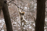 Sichuan Golden Snub-Nosed Monkey (Rhinopithecus Roxellana) Hanging Off Branch Photographic Print by Gavin Maxwell