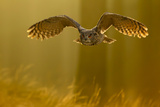 Eagle Owl (Bubo Bubo) in Flight Through Forest, Backlit at Dawn, Czech Republic, November. Captive Photographic Print by Ben Hall