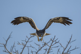 Martial Eagle (Polemaetus Bellicosus) Flying, Kruger National Park, South Africa Photographic Print by Neil Aldridge