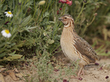 Male Common Quail (Coturnix Coturnix) Calling, Spain, May Photographic Print by Markus Varesvuo