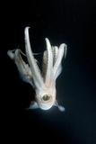 Humboldt Squid (Dosidicus Gigas) at Night Off Loreto Photographic Print by Franco Banfi