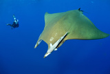 Scuba Diver with Devilray (Mobula Tarapacana) Photographic Print by Franco Banfi