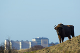 European Bison (Bison Bonasus) with Town in the Background Photographic Print by Edwin Giesbers