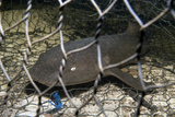 Nurse Shark (Ginglymostoma Cirratum) Young Caught in a Fishtrap Photographic Print by Alex Mustard