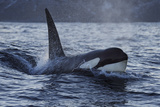 Orca - Killer Whale (Orcinus Orca) Surfacing, Senja, Troms County, Norway, Scandinavia, January Photographic Print by  Widstrand