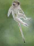 Vervet Monkey (Chlorocebus Pygerythrus) Baby Jumping Between Branches, Photographed Mid Air Fotodruck von Wim van den Heever