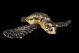 Hawksbill Turtle (Eretmochelys Imbricata) Swimming at Night Photographic Print by Alex Mustard