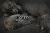 Western Lowland Gorilla (Gorilla Gorilla Gorilla) Twin Babies Age 45 Days Photographic Print by Edwin Giesbers