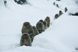 Japanese Macaque - Snow Monkey (Macaca Fuscata) Group Walking Along Snow Trail in Heavy Snow Photographic Print by Yukihiro Fukuda