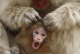 Japanese Macaque - Snow Monkey (Macaca Fuscata) Mother Grooming Four-Day-Old Newborn Baby Photographic Print by Yukihiro Fukuda
