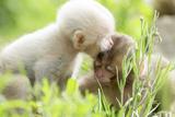 Japanese Macaque (Macaca Fuscata Fuscata) Rare White Furred Baby Playing with Another Baby Fotografisk trykk av Yukihiro Fukuda