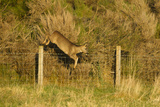Roe Deer (Capreolus Capreolus) Doe Jumping Stock Fence, Scotland, UK, November 2011 Photographic Print by Mark Hamblin