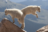 Juvenile Rocky Mountain Goats (Oreamnos Americanus) Playing on the Top of a Rocky Outcrop Photographic Print by Charlie Summers