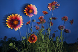 Firewheel (Gaillardia Pulchella) Flowers at Twilight, Laredo Borderlands, Texas, USA. April Photographic Print by Claudio Contreras