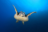 Hawksbill Turtle (Eretmochelys Imbricata) Cruising Along the Drop Off of a Coral Reef Photographic Print by Alex Mustard