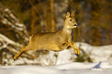 Roe Deer (Capreolus Capreolus) Female Leaping in Snow, Southern Norway, March Photographic Print by Andy Trowbridge