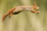 Red Squirrel (Sciurus Vulgaris) Jumping, Oisterwijk, The Netherlands Photographic Print by David Pattyn