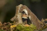 Weasel (Mustela Nivalis) Investigating Birch Stump with Bracket Fungus in Autumn Woodland Photographic Print by Paul Hobson