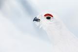 Male Willow Grouse - Ptarmigan (Lagopus Lagopus) Portrait, Inari Kiilopaa, Finland, February Fotodruck von Markus Varesvuo