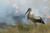White Stork (Ciconia Ciconia) Hunting and Feeding at the Edge of a Bushfire Reproduction photographique par  Denis-Huot