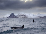 Orcas (Orcinus Orca) Pair in Sea Surrounded by Mountains, Iceland, January Fotografisk tryk af Ben Hall
