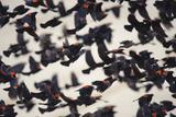 Red-Winged Blackbirds (Agelaius Phoeniceus) in Flight Photographic Print by Gerrit Vyn