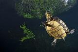 Mesoamerican Slider Turtle - Terrapin (Trachemys Scripta Venusta) in Sinkhole Photographic Print by Claudio Contreras