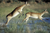 Red Lechwe Pair Running and Jumping in Swamp (Kobus Leche). Khwai River, Moremi Gr, Botswana Fotografisk tryk af Christophe Courteau