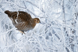 Female Black Grouse (Tetrao - Lyrurus Tetrix) Perched in Tree Covered in Snow Photographic Print by Markus Varesvuo