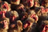 Japanese Macaques (Macaca Fuscata) Faces Looking Up Photographic Print by Yukihiro Fukuda