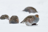 Four Grey Partridges (Perdix Perdix) on Snow, Kauhajoki, Finland, January Photographic Print by Markus Varesvuo