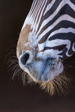 Grevy's Zebra (Equus Grevyi) Close Up of Muzzle Photographic Print by Juan Carlos Munoz