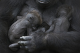 Western Lowland Gorilla (Gorilla Gorilla Gorilla) Twin Babies Age 45 Days Sleeping in Mother's Arms Photographic Print by Edwin Giesbers