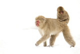 Japanese Macaque (Macaca Fuscata) Carrying Young on Back Through Snow, Nagano, Japan, February Fotografisk trykk av Danny Green