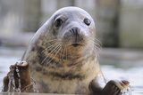 Rescued Grey Seal Pup (Halichoerus Grypus) Fotografisk tryk af Nick Upton