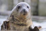 Rescued Grey Seal Pup (Halichoerus Grypus) Fotografisk tryk af Nick Upton