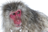 Japanese Macaque (Macaca Fuscata) Male Watching Another Male at the Monkey Park in Jigokudani Photographic Print by Diane McAllister