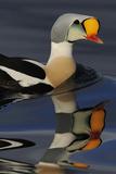 King Eider Duck (Somateria Spectabilis) Male, Batsfjord Village Harbour, Varanger Peninsula, Norway Photographic Print by Staffan Widstrand