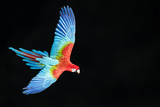 Red-And-Green Macaw (Ara Chloropterus) in Flight, Pantanal, Brazil. August Fotodruck von Wim van den Heever