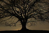 English Oak Tree (Quercus Robur) in Moonlight, Nauroth, Germany, February Photographic Print by Solvin Zankl