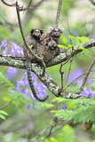 Family of White-Tufted-Ear Marmosets (Callithrix Jacchus) with a Baby Photographic Print by Luiz Claudio Marigo