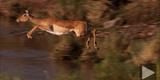 Female Impala (Aepyceros Melampus) Crossing River, Masai Mara, Kenya Photographic Print by  ammonite