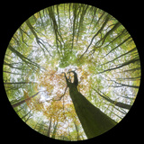 View Up Towards Autumnal Beech (Fagus Sylvatica) Woodland Canopy, Taken with a Fisheye Lens Photographic Print by Alex Hyde