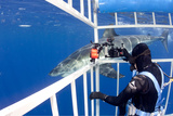 Scuba Diver Photographing Great White Shark, (Carcharodon Carcharias) from Cage Photographic Print by Franco Banfi