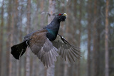 Male Capercaillie (Tetrao Urogallus) Flying, Jalasjarvi, Finland, April Photographic Print by Markus Varesvuo
